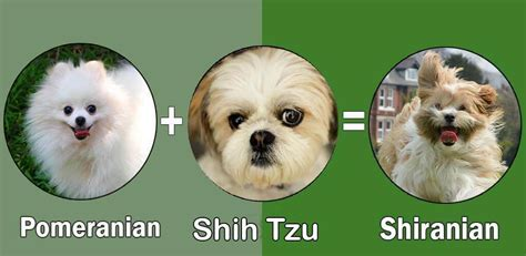 pomeranian shih tzu top 10 pomeranian cross breeds mix breeds by dogmal