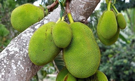 green jackfruit  pulled pork  vegetarians