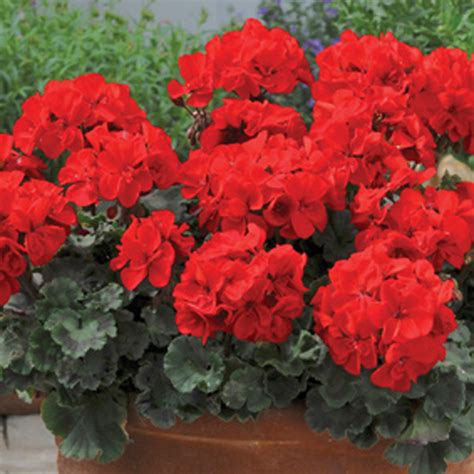 geranium designer series scarlet plants from mr fothergill