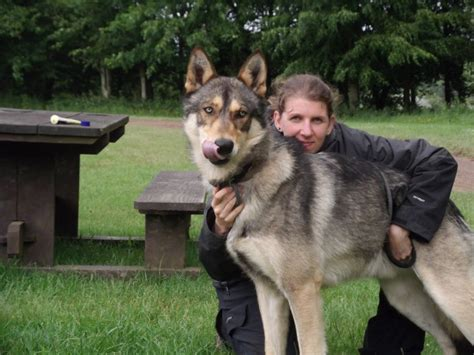 wolf hybrid dogs 22 dangerous breeds most likely to turn on their owners petstorynews page 13