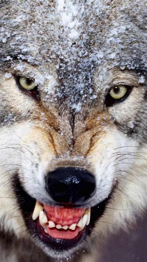 Angry Wolf angry wolves wallpaper wolves animals 24 wallpapers