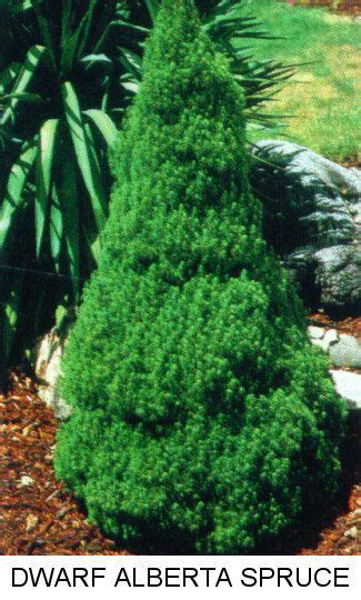 evergreen trees pictures   small sample