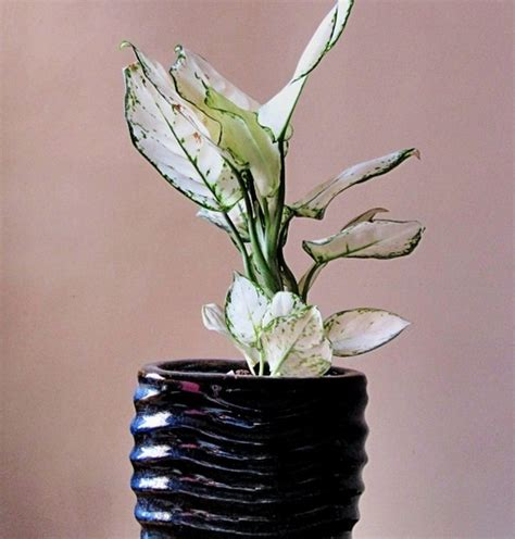 Tanaman Hias Violces And White tanaman aglaonema white bibitbunga
