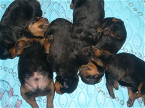 rottweiler breed standard weight rottweiler puppy growth chart a of rottweilers