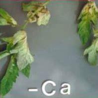 Pupuk Kandungan Kalsium Tinggi 16 jenis defisiensi dan ciri ciri daun tanaman kekurangan