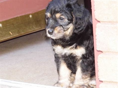 beagle poodle mix puppies for sale gorgeous beagle poodle cross puppies abergavenny monmouthshire pets4homes