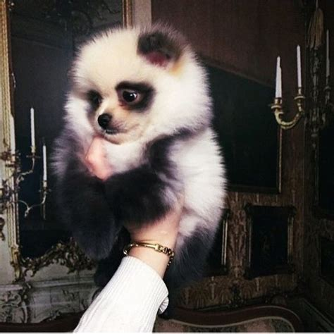 panda pomeranian the world s catalog of ideas