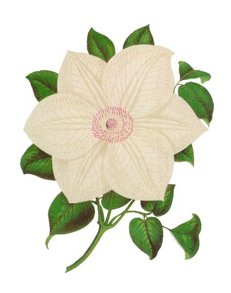 Flower Bunga Vintage Second Preloved Import antique images antique stock flower illustration botanical clip clematis images