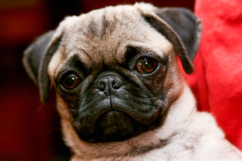 images of pug dogs file pug portrait jpg