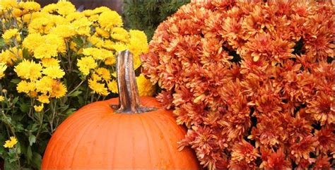 can fall mums survive frost 4 facts to about mums