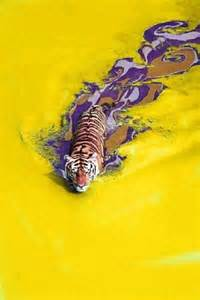 what are lsu colors tiger swimming through lsu colors