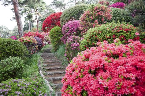 the all inclusive guide to blooming azaleas fast growing