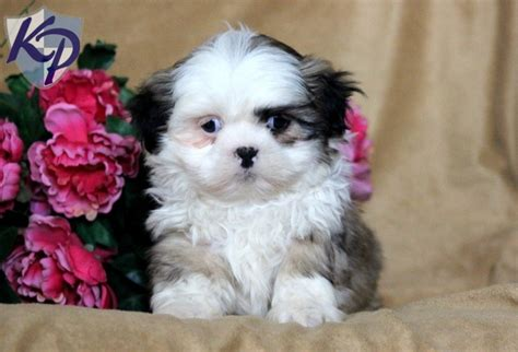 shih tzu for sale in pa 99 best images about shih tzu puppies on adoption animal pictures and