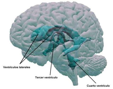 cuarto ventriculo ventr 237 culos