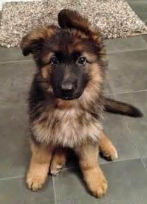 Best 20 baby german shepherds ideas on pinterest german shepherd pictures dogs and puppies