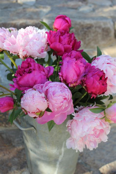 the pink peonies peonies search results trouvais