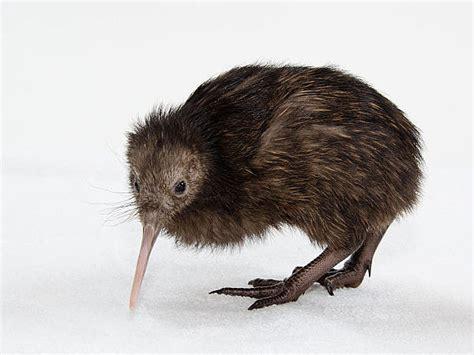 imagenes de animal kiwi el kiwi y el possum dos animales simb 243 licos de nueva zelanda