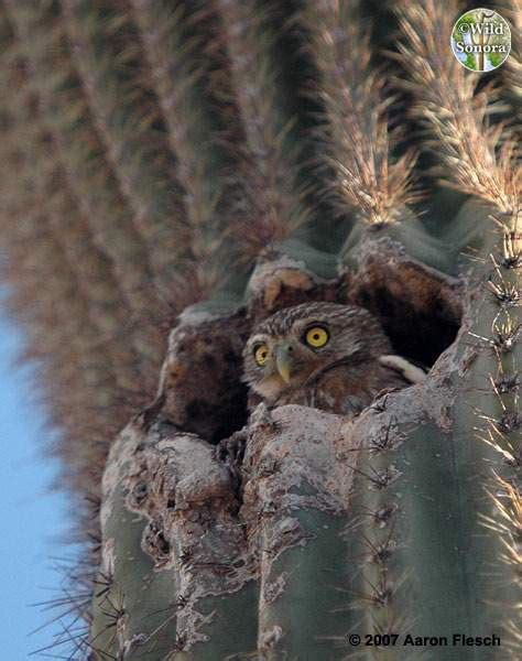 cactus ferruginous pygmy owl www pixshark com images