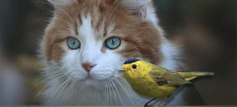 take the challenge keep cats safe save bird lives