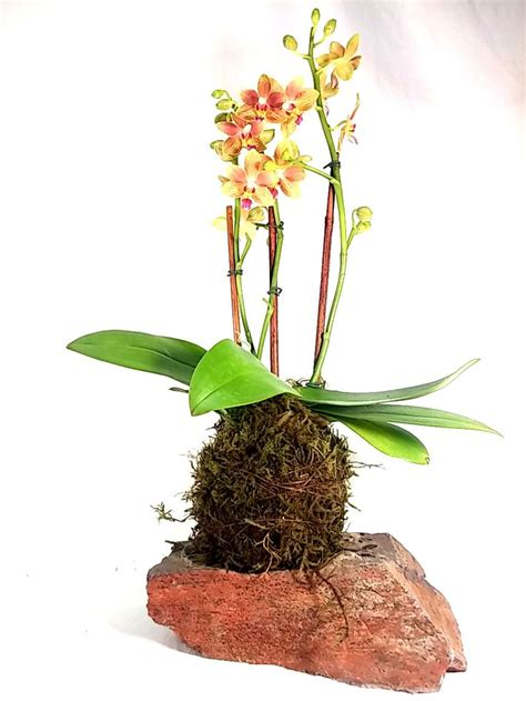 Medium Japanese Mossball 1000 images about kokedama orchids on