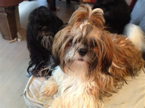 shih tzu puppies for sale in jacksonville fl shih tzu puppies for sale near jacksonville florida akc marketplace