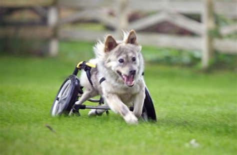 paralyzed dog   hope finds  happily