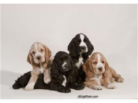 cocker spaniel puppies for sale in ohio cocker spaniel puppies for sale