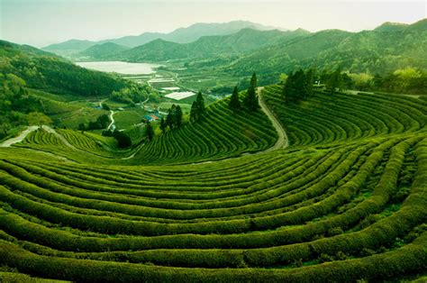 green korea wallpaper picture of the day the tea fields of boseong korea