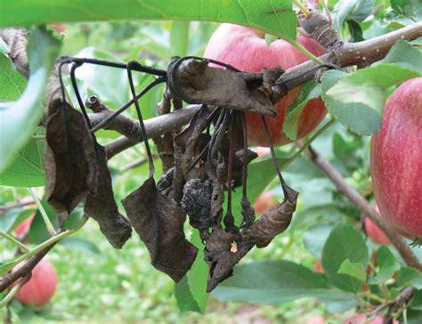 fruit tree fungus identification blight blossom fruit ontario appleipm