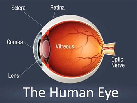 basic structures of the eye ppt download the human eye authorstream