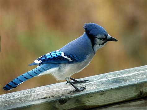 blue jay facts what do blue jays eat where do blue