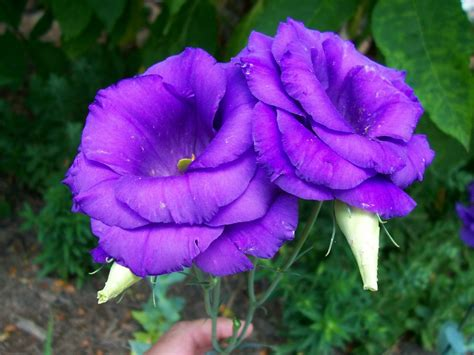 lisianthus plants learn how to grow lisianthus flowers