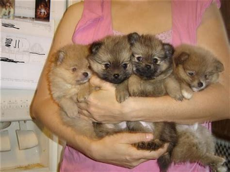 pomeranian breeders in ohio pomeranian puppy for sale in ohio breeds picture