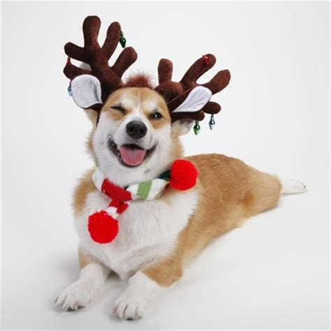 henry the s corgi a corgis and reindeer and elves oh my the daily corgi