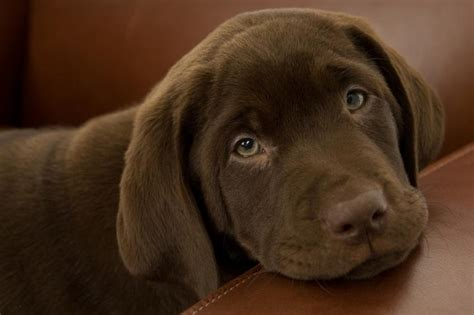 chocolate dogs chocolate lab puppy names slideshow