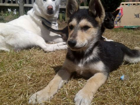 german shepherd and husky puppies husky german shepherd puppies puppies puppy