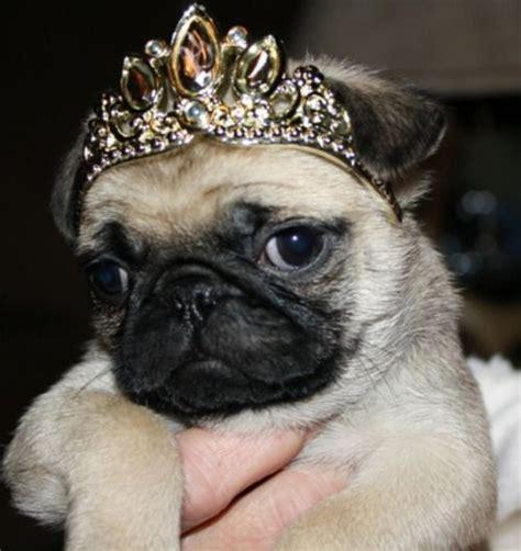 pug princess leia 1083 best images about pugs for puggers on pug black pug and prints