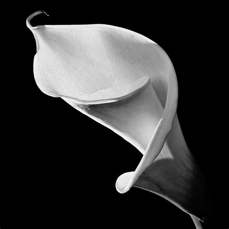 cala lily in black and white photograph by wood