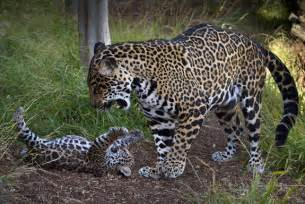 Jaguar Child Jaguar Cub Tempts To Play Baby Zoo Animal Photos