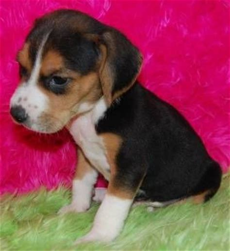 miniature beagle puppies for sale best 25 mini beagle ideas on