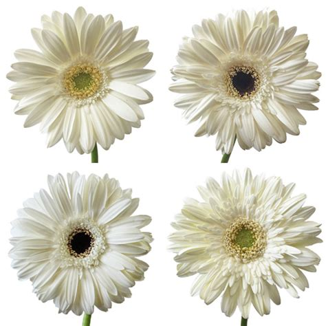 gerber daisies white gerber flower