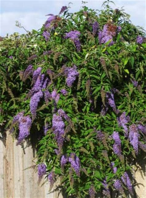 plants that drape california friendly plant butterfly bush with brightly