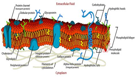 diagram of a cell membrane cytoskeleton cell diagram images