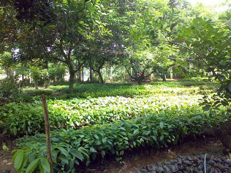 jual bibit pohon kayu albasia sengon jeungjing jabon jati