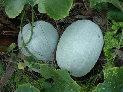 winter melon fruits on trees pinterest