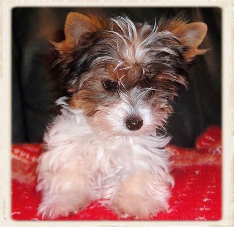 yorkies for sale in chicago best 25 terrier for sale ideas only on teacup terrier