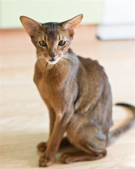 Hypoallergenic Cats are a Paw radise for Allergic Cat Lovers