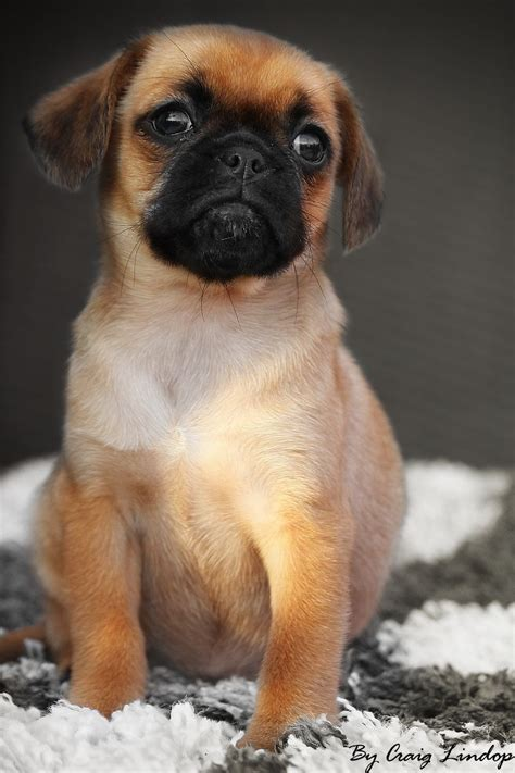 puppies for f1 pugalier puppies for sale warrington cheshire pets4homes