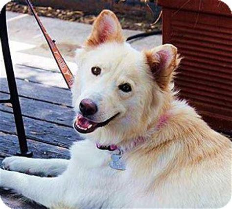white husky golden retriever mix pet not found