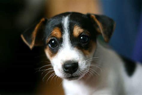 imagenes de un jack russell jack russell terrier el perfecto compa 241 ero de aventuras